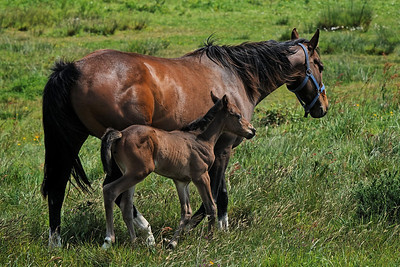 Horse and foal - Brittany, 2009