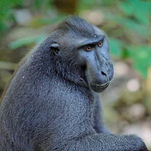 Celebes Crested Macaque (Macaca nigra)  - Tangkoko National Park< - Sulawesi, Indonesia, April 2007