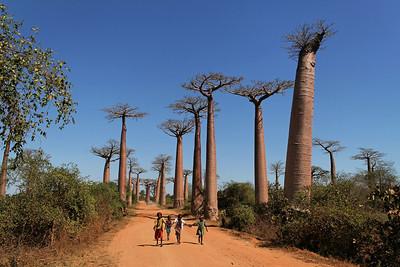 Allée des baobabs near Morondava - Madagascar 2005