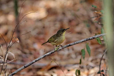 Long-billed Greenbul (Phyllastrephus madagascariensis) - Madagascar 2005