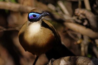 Giant Coua (Coua gigas) - Madagascar 2005