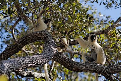 Verreaux's Sifaka (Propithecus verreauxi verreauxi) - Madagascar 2005