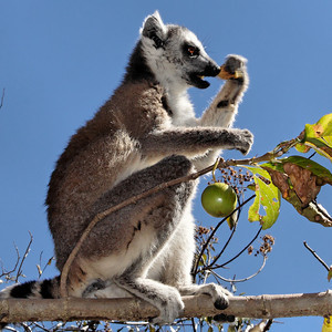 Ring tailed lemur  (Lemur catta)  - Madagascar 2005