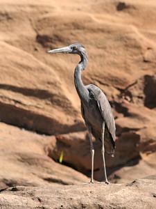 Humblot's heron (Ardea humbloti) - Madagascar 2005