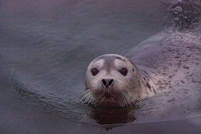 Ringed seal - MALINA cruise, Beaufort Sea, August 2009.