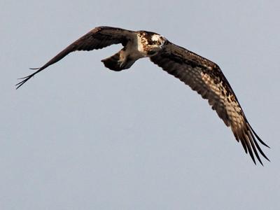 Osprey (Pandion haliaetus) - Cat Tien National Park, Vietnam, 2009