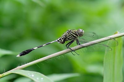 Dragonfly - Cuc Phuong National Park, Vietnam, July 2006