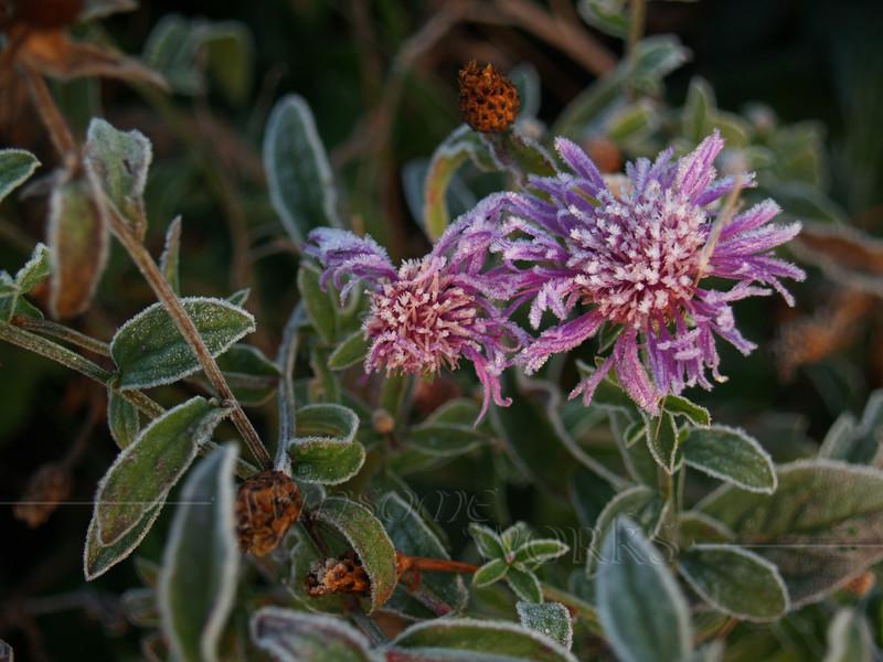 #68 - Frosty Wildflowers