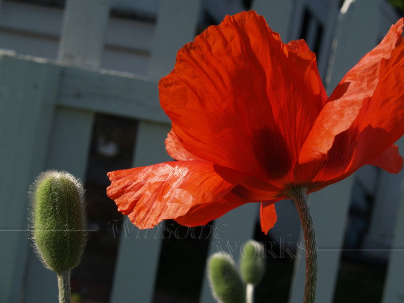 #74 -  Glory of Poppy