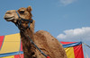 #79 - Circus Camel, Wide Angle