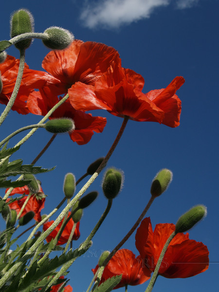 #71 - Poppies to the Sky, Vertical