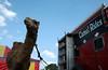 #80 -Grungy Camel Rides, Anyone?