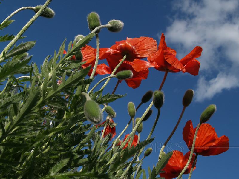 #72 - Poppies to the Sky, Horizontal
