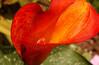 #69 - Calla lily