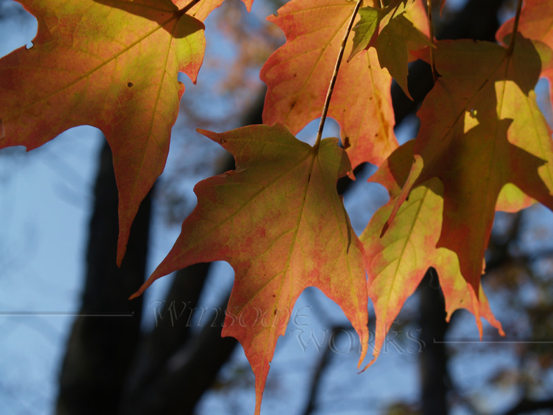 #25 - Brilliant Sugar Maple Leaves