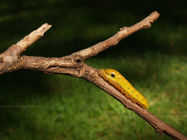 #18 - Spicebush Swallowtail Caterpillar