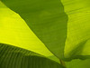 #54 - Banana Leaf