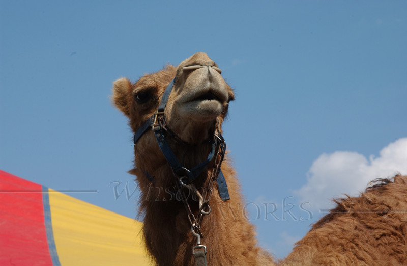 #77 - Circus Camel with Tent