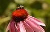 #95 - Bumblebee on Echinacea III