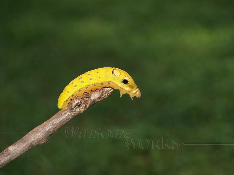 #17 - Spicebush Swallowtail Caterpillar