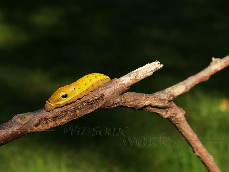 #20- Spicebush Swallowtail Caterpillar