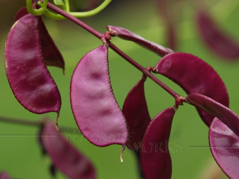 #56 - Scarlet Runner Beans in September