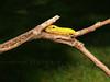 #19 - Spicebush Swallowtail Caterpillar