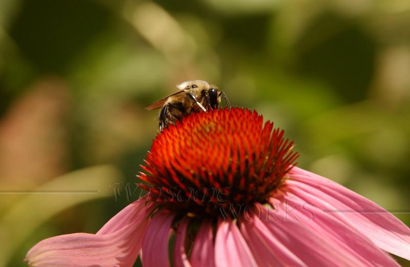 #94 - Bumblebee on Echinacea II