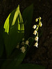 #27 - Lily of the Valley in Shadow