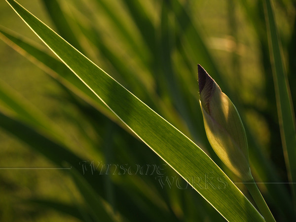 #10- Back-lit Iris Bud