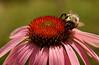 #96 - Bumblebee on Echinacea IV