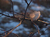 #9 - Downy Feather Perched on Branch, Twilight
