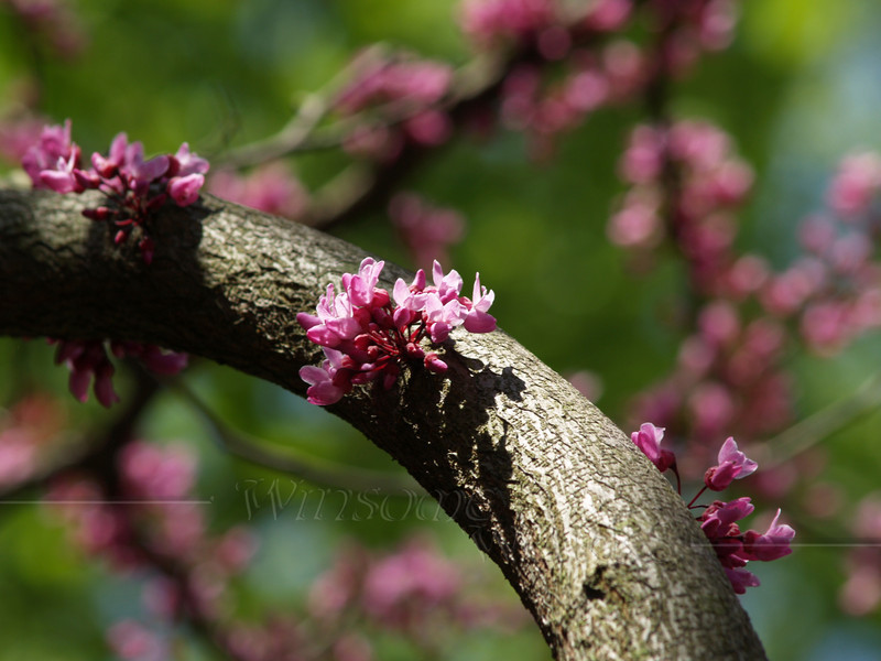 "#30 - Cercis canadensis ""Forest Pansy"" (redbud)"