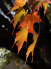 #24 - Back-lit Sugar Maple Leaves with Trunk