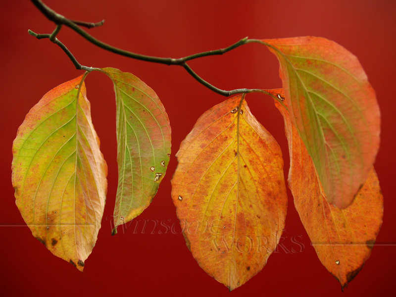 #22- Dogwood Leaves on Red