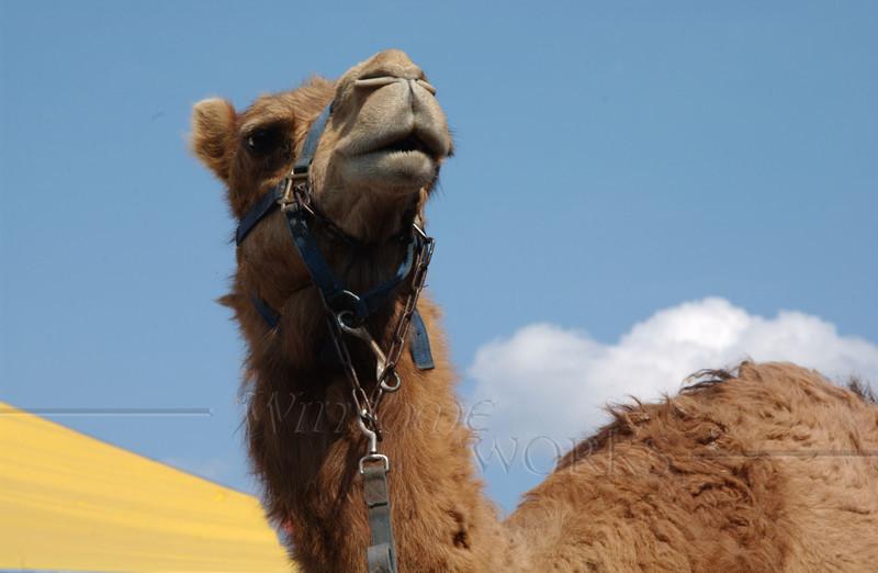 #78 - Circus Camel in Quakertown
