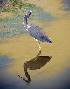 Blue Egret_3048