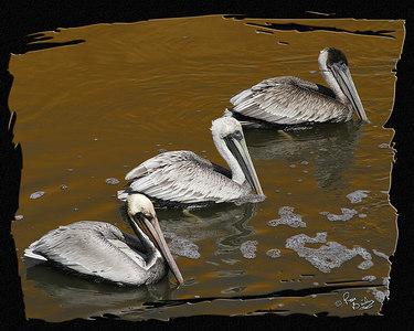 Three Pelican_2727_24x30