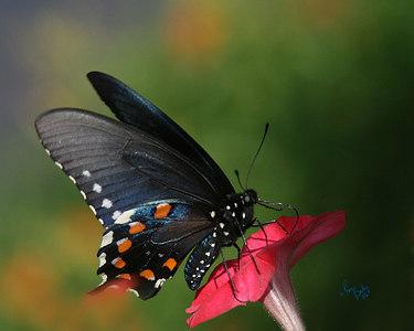 Butterfly_2215_16x20