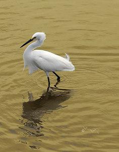 White egret_3012