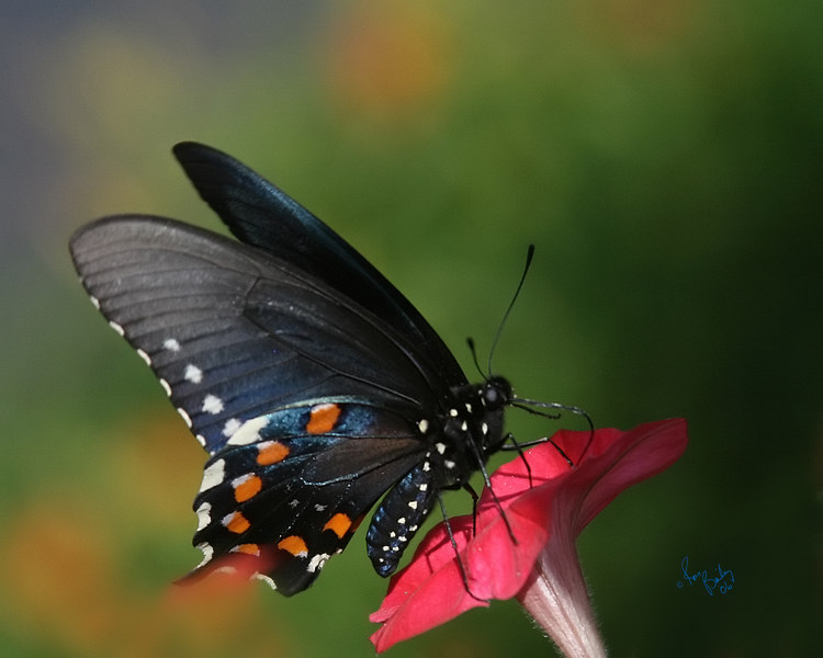 Butterfly_2215_16x20_NI