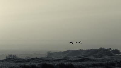 """Flight""  (Ae'o -- Himantopus mexicanus knudseni)"
