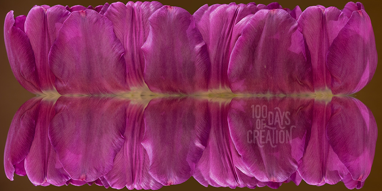 "Day 67 - Tuliporama ~ Reverse panorama, mirrored photograph, 32""x16"""