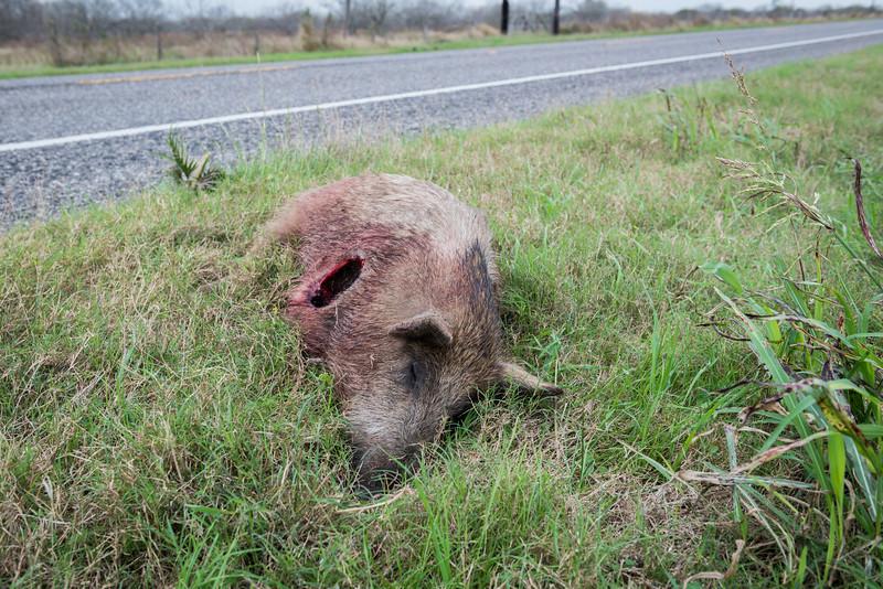 Shot and Scavenged Hog