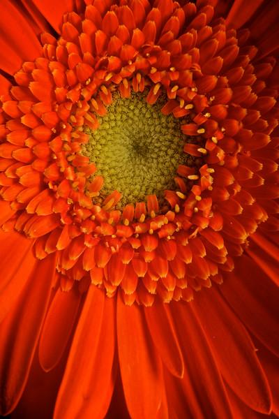 Orange Gerbera 3