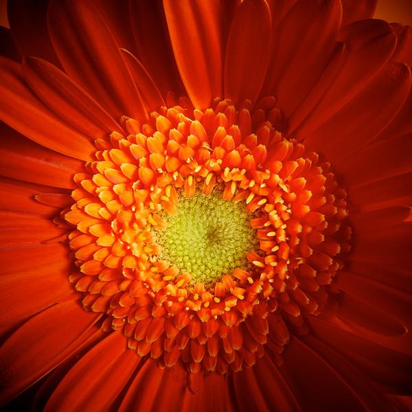 Orange Gerbera 2