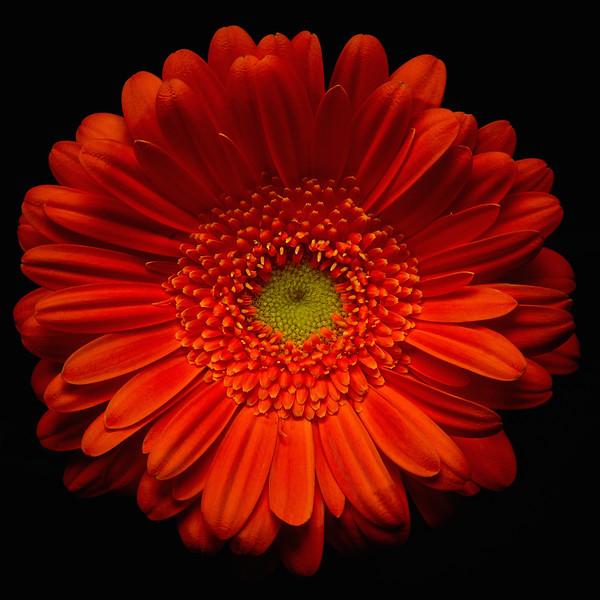 Orange Gerbera 1