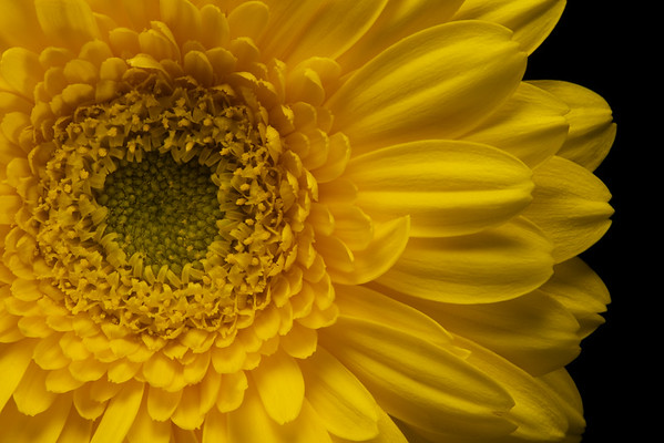 Yellow Gerbera 1