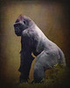 Silverback Gorilla