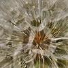 <center>IMG9263 South Dakota Weed Puff<center>